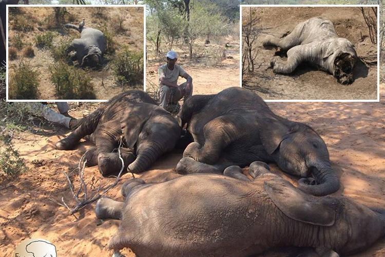 Nearly NINETY elephants FOUND killed near wildlife sanctuary